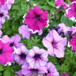 Сиреневые и лиловые петунии
