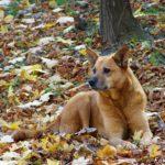 Рыжая дворовая собака на осенних листьях в парке.