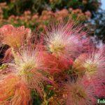 """Пушистые """"кисточки""""-соцветия альбиции напоминают праздничный салют"""