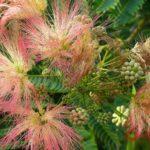 Альбиция ленкоранская (Albizia julibrissin). Цветки и зелёные листья.