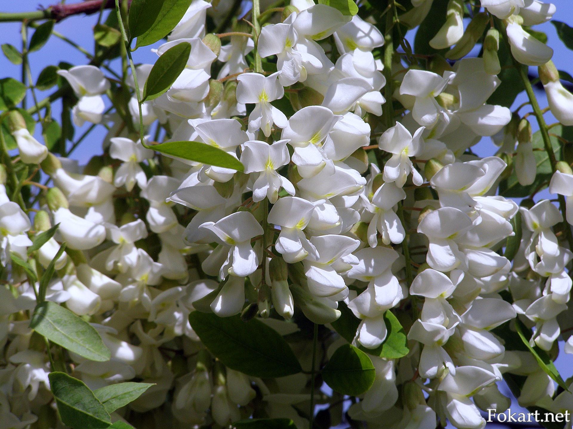 Цветки белой акации крупным планом