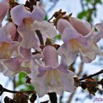 Крупные сиреневые колокольчатые цветки павловнии (Paulownia), или Адамова дерева