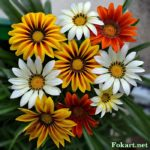 Девять цветков газании - белые, оранжево-кирпичные и полосатые