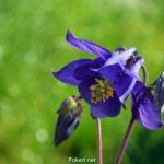 Фиолетовый цветок аквилегии на фоне яркой майской зелени