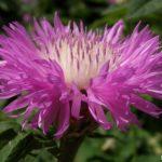 Сиреневый цветок василька мускусного крупным планом