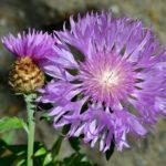 Василёк мускусный, сиреневый василёк, амбербоа мускусная. На фото - 2 цветка - распустившийся и распускающийся.