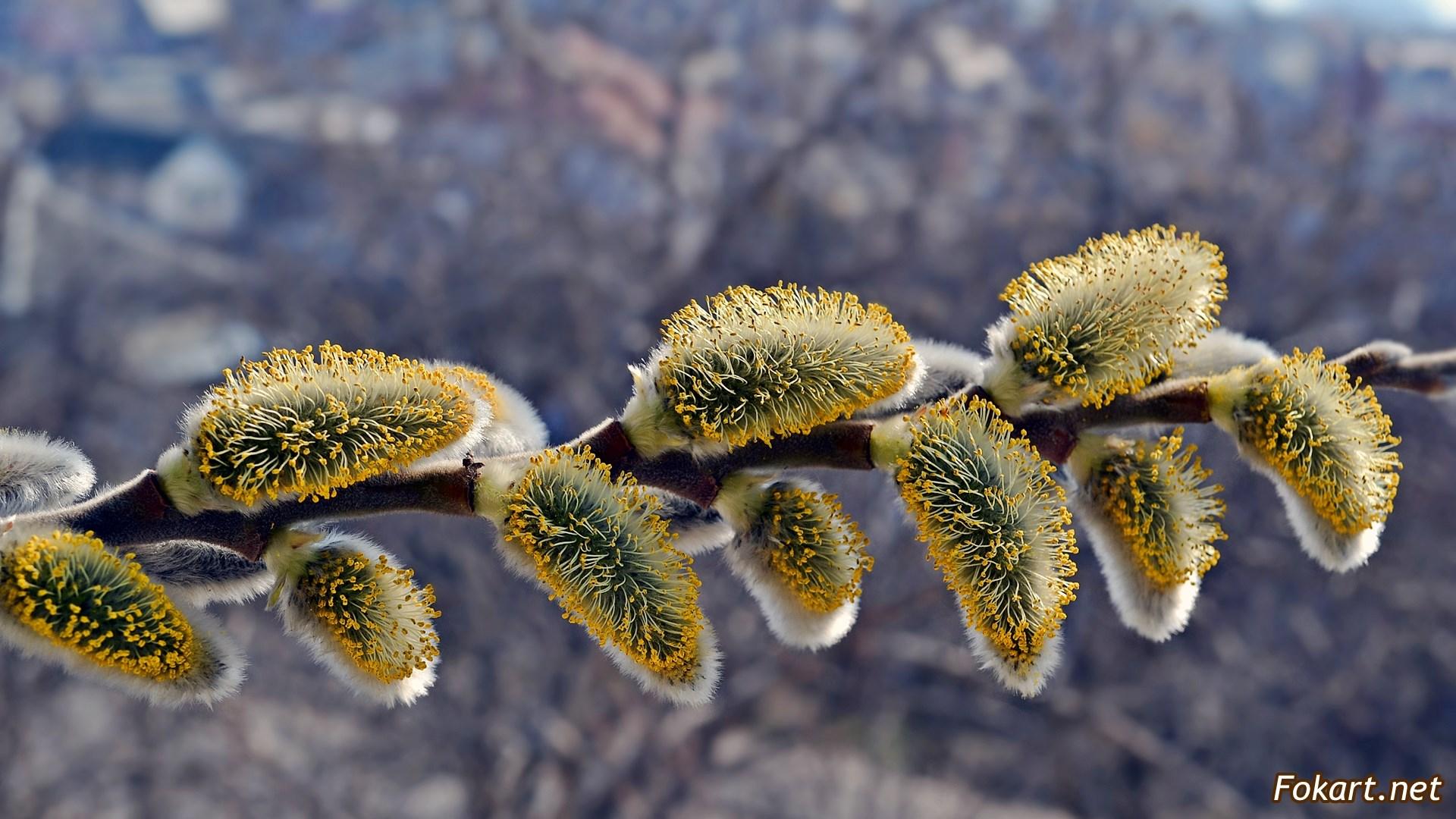Веточка цветущей вербы с жёлтыми серёжками