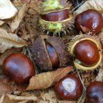 Каштаны ( плоды конского каштана обыкновенного), упавшие на землю осенью