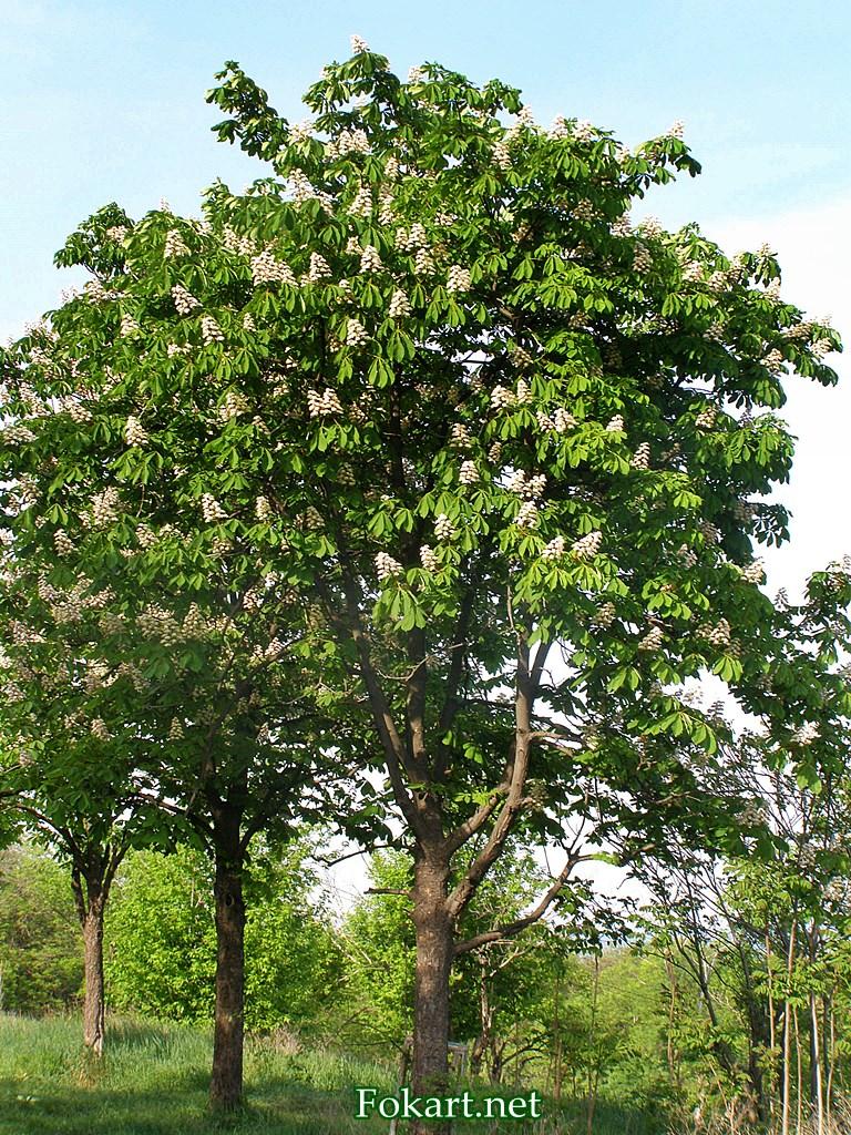 Цветущий каштан конский обыкновенный в мае