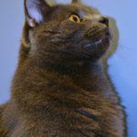 Серый кот внимательно следит за игрушкой