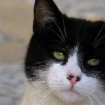 Кот с пятнистым носиком