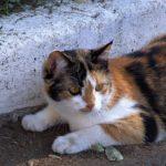 Трёхцветная кошка, затаившаяся возле бордюра