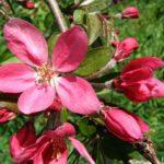 """Красные цветочки яблони пурпурной (Malus purpurea), называемой в народе """"Райские яблочки""""."""