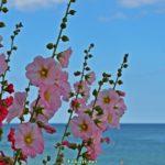 Цветущая мальва на фоне моря.
