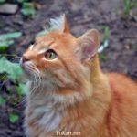 Рыжий кот, ожидающий угощения
