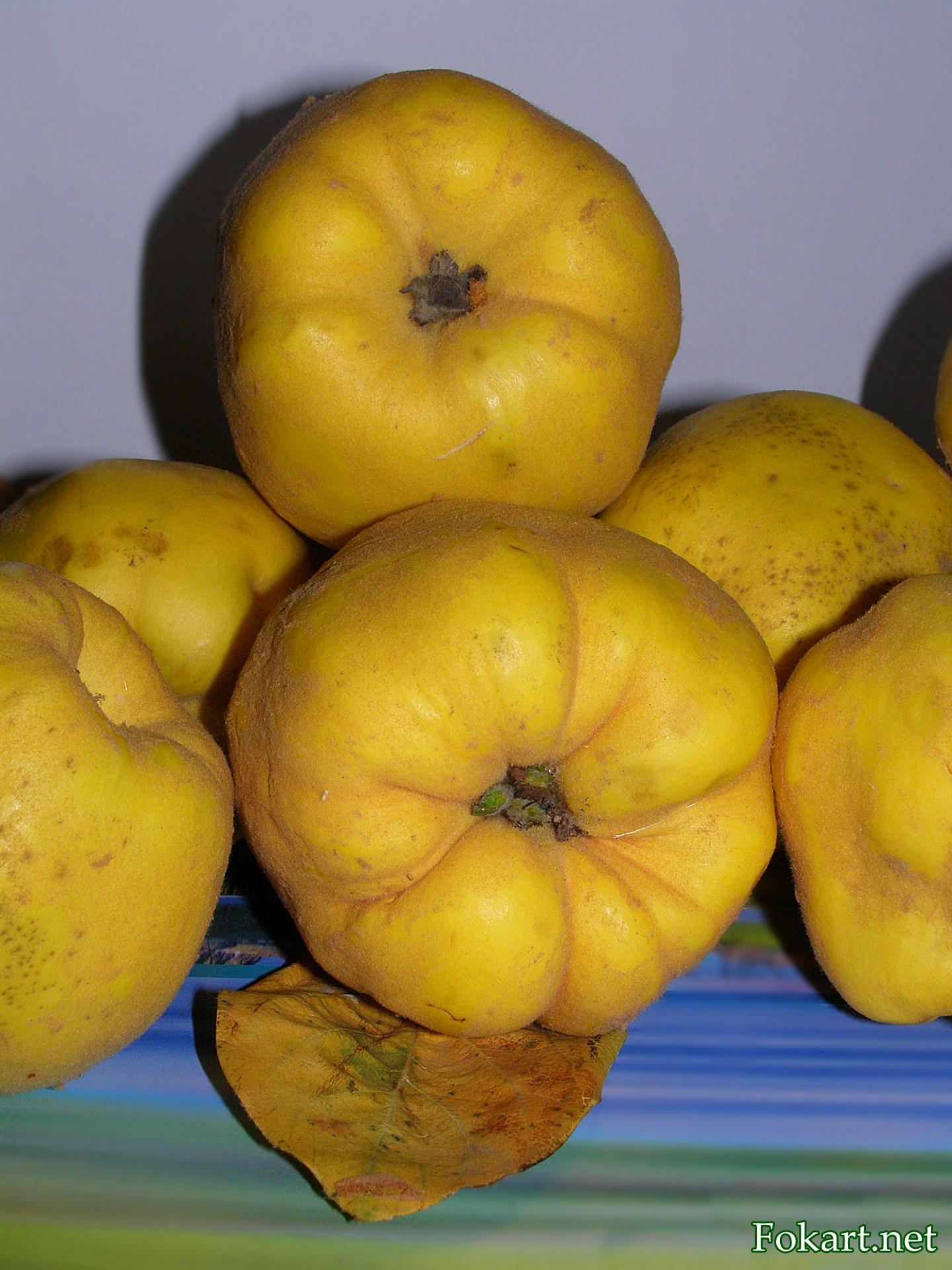 Тёмно-жёлтые шершавые плоды айвы