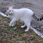 Белая кошка с полосатым чёрно-серым хвостом на прогулке