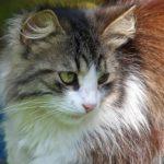 Пушистая трёхцветная кошка крупным планом