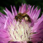 Сиреневый василёк мускусный и пчела, собирающая нектар, крупным планом