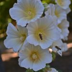 Две пчелы и светлые цветки мальвы