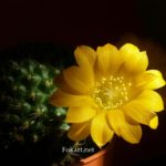 Жёлтый цветок ребуции Марсонера (Rebutia marsoneri)