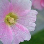 Мальва. Розовый цветок с белыми прожилками крупным планом