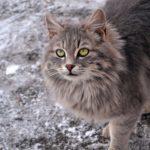 Красивый, серый и пушистый кот с зелеными глазами на зимней прогулке