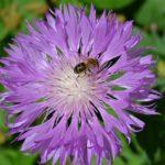 Сиреневый василёк (мускусный) и пчела, собирающая нектар.