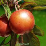 Плоды сливы Писсарди (краснолистная алыча)