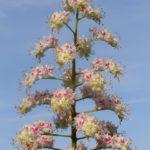 Соцветие конского каштана обыкновенного (Aesculus hippocastanum) крупным планом на фоне неба