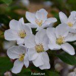 Соцветие яблони halliana бонсай