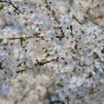 Белоснежно цветущие ветки дикой сливы