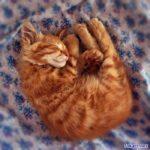Спящий ярко-рыжий котёнок
