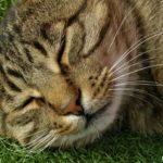 Красивая мордочка спящего кота на весь экран