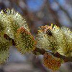 Веточка с цветущими серёжками вербы и пчела