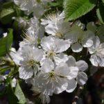 Соцветие вишни среди зелёных листьев
