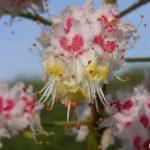 Цветки (фрагмент соцветия) каштана конского обыкновенного вблизи