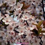 Цветущая ветка сливы краснолистной (Prunus cerasifera Pissardii)