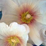 Два светлых цветка мальвы вблизи