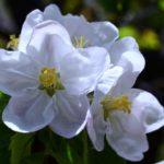 Соцветие яблони крупным планом