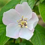 Цветок айвы вблизи