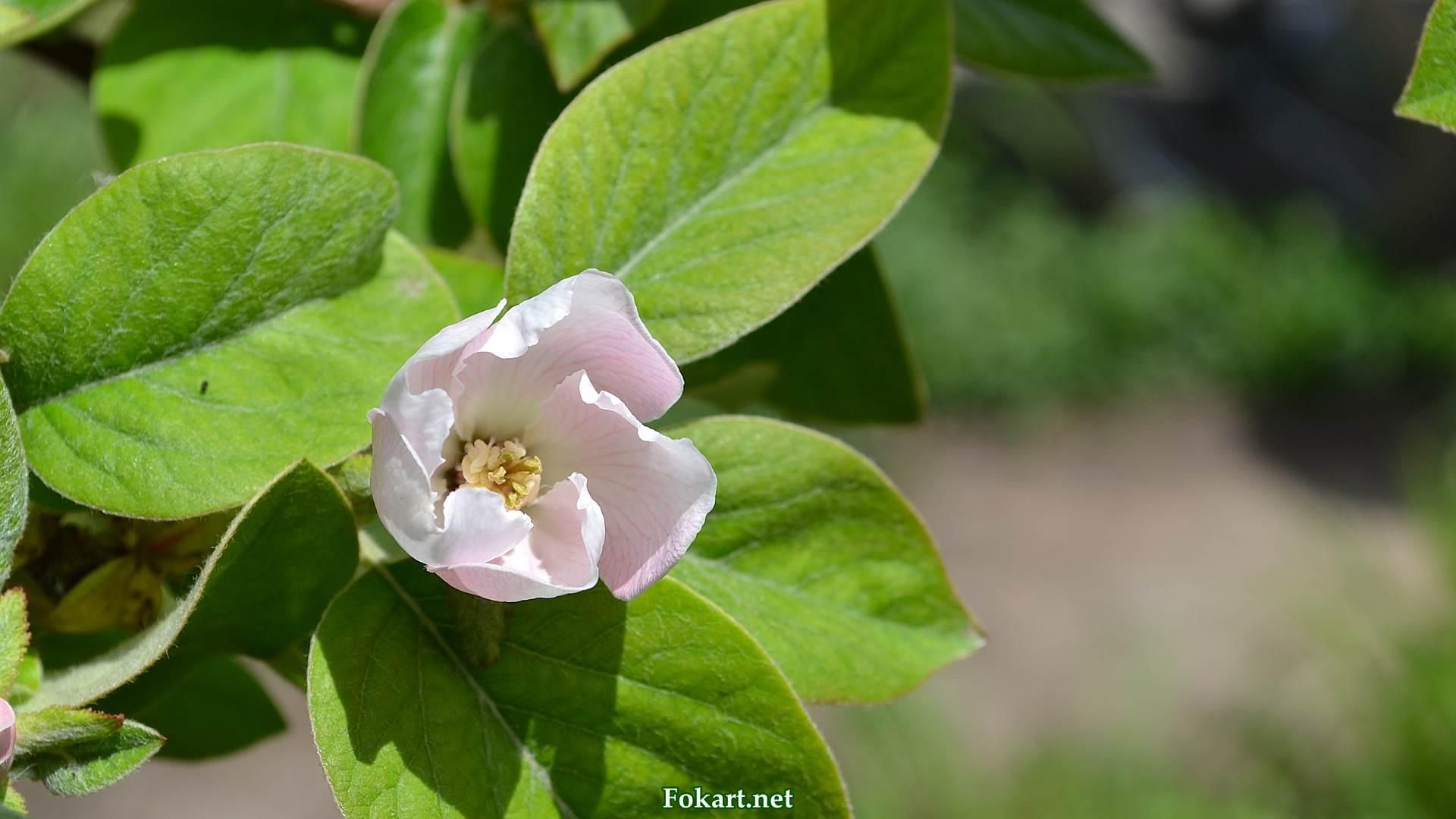 Цветок и листья айвы