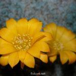 Ребуция Марсонера (Rebutia marsoneri). Жёлтые цветки крупным планом