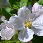 Цветок яблони вблизи