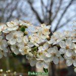 Роскошное цветение дикой сливы