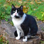 Чёрно-белый кот на пеньке