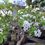 Яблоня halliana бонсай в цвету