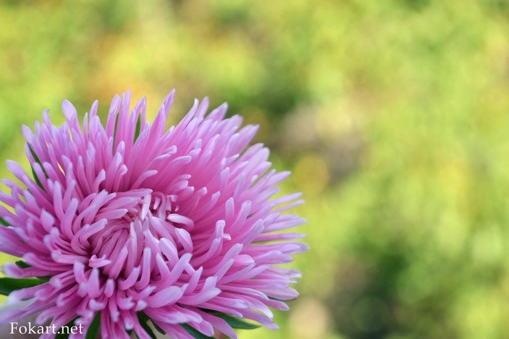 Розовая астра на размытом фоне
