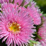 Розовая астра в букете крупным планом