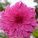 Крупный розовый цветок . Георгина высокорослая Rosella